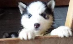 Adorable male and female husky seeking new home text for more details (470)400-1532