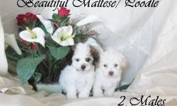 2 females  3 males  very cute , and small outside than in pictures.  8 weeks old  call me at 408-666-2591 if you want to see them.