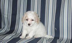 1 ADORABLE PUP, 1 FEMALE 8 WEEKS OLD, WHITE COLOR, SHE  LOOKS MUCH SMALLER OUTSIDE THAN IN PICTURES. VERY CUTE. CALL ME AT 408-666-2591 IF YOU GUYS WANT TO SEE HER