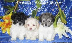 I have males  pups, maltese mixed with poodle, 8 weeks old, very cute and tiny size, These are none shed pups. call me if you want to see them. 408-621-1990