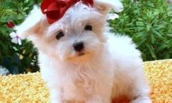 Adorable maltese puppies for free adoption Age:13 Weeks,Weight:2.3,Health:Excellent potty trained,and have all their health papers.They love to be in the company of kids and ..Contact Us Directly Via Text Only At (267-579-2901) (267-579-2901)