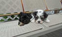 Adorable litlle Morkie puppies, they are non shed and hypoallergentic. They come with shots , wormings and health guarantee. Hm 410-658-1120 or Cell 443-945-7324