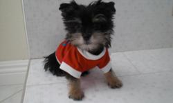 Cute Morkie Puppies already have shots/dewormed, paper trained parents weigh about 3-4lbs. If interested please call or text .
