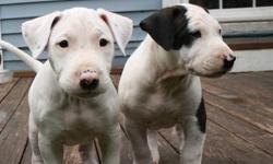 I have beautiful American Pitbull Terrier puppies left (1 female and 4 male) Born: May.10. 2016 The puppies come in various colors. The pups are rased in a loving home and are already well socialized with children and other animals. Rehoming fee:250 Thank
