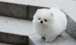 Text (610) 350-4844 if interested. Teddy is an amazing white pomeranian so tiny and petite. She has the full ,triple coat with gorgeous bear face and superior quality. She is available for sale. If you are looking for best of best here she is. So tiny and