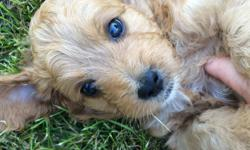 3/4 toy poodle, 1/4 chihuahua puppies.. Males. All shots and wormed. Dew claws removed. Great personality and temperament. Little to no shedding. Socialized with children and other animals. Will stay small. Will provide a leash and collar.