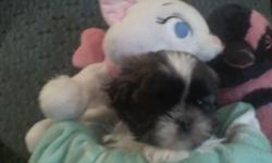 """Beautiful Tri-Colored AKC Male Shih Tzu with baby doll face and a personality to match. He was born Dec.31rst on New Years Eve and is now 8 weeks old. Mom & Dad are on site and Dad """"Lash La Rou"""" weighs only approx. 8 lbs and Mom Ginger weighs"""