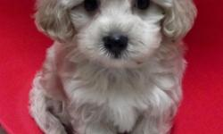Shorkipoo is a specialty designer pup that is a wonderful mix of a Yorkie, Shih Tzu and Poodle. They make the cutest little puppy around. Shorkipoo puppies are loving dogs but when you add the poodle to the mix you just increase their intelligence greatly