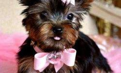 Adorable teacup yorkies for loving homes..contact (248) 716-1990 for more info and pics.