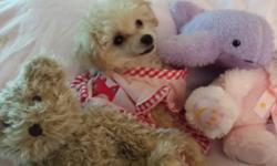 Boy and girl Toy Poodles in chicago. They are 15 1/2 weeks old Potty Trained. They have shots and dewormed. Pure breed papers. Dad is 4lb ,Mom is 6lb.They have been raised with love and care in my home.I will include some puppy stuff for them. They are