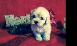 Adorable Tiny & Tcup Maltipoo Puppies. Health Warranty. Shots and wormers up to date. Hypoallergenic. Home raised. Males and females available. For more info please call -