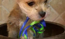 Adorable 8wk old Morkie puppies! We have one girl and one boy. They have had their dew claws removed and have received their first vaccinations.  Their mom is a purebred Maltese (6lbs) and dad is a purebred Yorkie (4lbs); both registered. The
