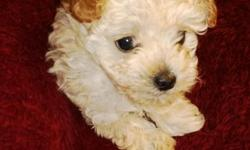 3 month old female toy poodle. Apricot.  AKC registered. Papers. All shots up to date. Call 625-5195.
