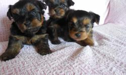 Adorable little Yorkie-poo puppies, there are 2 girls and 1 little boy on the farthest left side of photos. They are much smaller than in the zoomed picture of them. They come with shots , deworming and health guarantee. Raised inside my home and