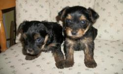 Beautiful little Yorkie-Poos, They are ready Sept 2nd 2014. They come with shots, wormings and health guarantee. Raised in my home and are very healthy. They will look alot like the Yorkie black with gold markings and are non shed