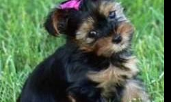 AKC Registered Yorkie puppy. We have cute and lovely Yorkie puppy that is potty trained, currently on all vaccines and shots. We are giving her out for loving and caring homes, so if you are interested in our puppy just get back to us for more details and