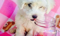 hi i have 1 little boy and 1 little girl yorkiepoo puppy 10wks old and w 1st shots will be 3-7lbs as an adult call for more info 310-341-6805