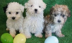 French Poodle -are 8 weeks -I have 3 males  -tail are cut -and eat alone -are very clean, adorable and playful -are healthy .....We sell at 350 dollars...... - We live in Moreno Valley 92553 -For more information call 951-552-5751 .....ESPANOL.....