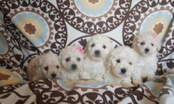 French Poodle Minitoys are 8 weeks old I have 2 females and 3 males will grow to about 1 foot or less they weigh between 4 ½ to 6 ½ pounds, approximately. are dewormed are adorable, playful, affectionate, and well good. sell them at $ 300 -I live in