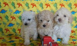 adorable puppies for sale. - We have 3 males, - They are vaccinated, have their papers vaccine - Are dewormed, - Is 8 1/2  weeks old and are eating alone, They are well-playful, cheerful, and very funny, - Are well healthy - We give 300 dollars, - We