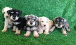 hello, I am going to give my puppies sale schnauzerI have 6 females and 3 males,are 8 weeks old,and eaten alone,are dewormed,are very healthy and healthyrace are original and well playful, and very beautiful,we want to sell at the price of 350 dollars, to