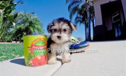 This tiny girl is ?Claudia?, our petite and playful female Morkie Designer puppy available in San Diego. She is current on her vaccines and comes with a One Year Congenital Health Guarantee. Claudia will be 3.5 lbs Full Grown, and she is currently 9 weeks
