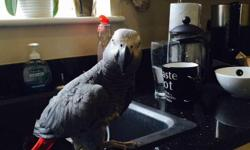 Max the African Grey Parrot is looking for a new forever home. We are moving to Canada and sadly cannot take him with us. He is a much love 13 year old boy who has a massive vocabulary and is very intelligent. He comes with a large cage and his toys. We