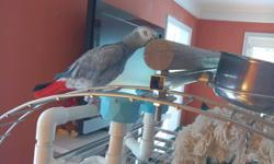 Top quality Grey Parrot parrot looking for re-homing. parrot, speaks few words and young enough to learn more. Very socialized and tame. Health and medical certificates from our vet.contact person(402) 695-7729