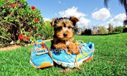Say hello to ?Chance?, our perfect male AKC Yorkie Puppy for sale in San Diego. He is current on his vaccines and comes with a One Year Congenital Health Guarantee. Chance will be 5-7 lbs Full Grown. He?s 9 weeks old, and ready for a new home! Check him