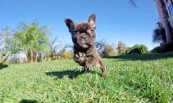 This beautiful is ?Cherokee?, our perfect female AKC French Bulldog puppy available in San Diego. Meet her via Skype or watch her play: http://youtu.be/LMlOG6d1CF4   Registration: AKC * 11 weeks old * Adult weight: 20-25 lb. * Checked by