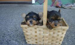 AKC 5 Healthy Teacup Yorkie Puppies AvailableWe have a Male and females Yorkies Puppies All puppies are well socialized from birth, to people and other dogs.Puppies come with a collar bag of puppy food and their first two puppy shots!Will come with