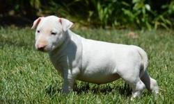 9 weeks all white Bull Terrier ready to go. Beautiful color. All shots, state health certificate and healthguarantee call/text for more information,(928) 275-1006)