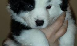 Akc standard size aussie. Parents are very intelligent working dogs & on site living in our home as family pets. Pup will come with full Akc registration, current worming, vet exam, shots & 1 year health guarantee. We currently have a bi (black & white)