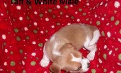 I am in Pennsylvania AKC registered Beagle puppies2 tri-colored females,1 tan & white male,3 tri-coloredmales born Oct. 13th Ready Dec. 8th I will hold until Christmas and they will have second shot if paid in full. $50.00