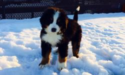 3 Male AKC Bernese Mountain dogs available right now. They have been given shots and wormer and microchipped.  Certification of health from vet.    Take a look here   http://bernesemountaindog.wix.com/bernesemountaindog3#!parents/c1avz
