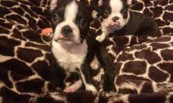 AKC Registered Boston Terrier Puppies. DOB 8/16/14. 2 males and 1 female. They?re very sweet and playful. 1st shots, deworming, and health exams will be taken. Potty-trained on pad. Champion bloodline. $1,100 willing to negotiate. Both parents tested have