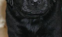 Hi i am announcing a litter of black and yellow lab pups born on 4/4/16 that are now ready to go home. The puppies will come with akc registration and with full breeding rights. Each of them will come with their first set of puppy shots and dewormed
