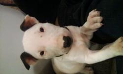 puppies are due middle of next month, champion bloodlines, now taking deposits, pics of dad as a pup,,,