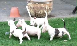 Only 2 left!!! Male and Female puppies... Mother on site.. Great Pedigree... Hungarian Bloodlines.. Last Picture is Mom.