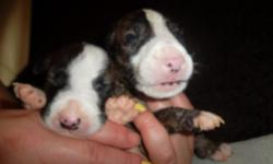 PRICE REDUCED!!! PERFECT FOR MOTHER'S DAY! AKC registered Bull terrier puppies. With Flash Point Inferno at Kilacabar, Kilacabar Stand & Deliver (champion), Staray's Blue Savannah of Kilacabar blood lines. Will have first set of shots. Asking