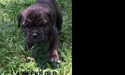 Akc Registered Italian Cane Corso Pups. 6 weeks old. Text for pics.  (443) 770-2436