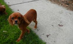 Adorable Cavalier King Charles Spaniel Puppies for Sale ~ Ruby Color Ready to go to their new homes now ~ Males Raised in loving home with children, very socialized. Wormed, Shots, Crate training now. Puppies are very loving and adorable. Very Nice Lines