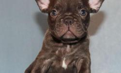 Super cute male French Bulldog puppy, Nori, is ready to find a loving home! He was born in 05/23/2016. He got vaccinated and dewormed up to date. He is registered with AKC. His father is a Chocolate French Bulldog. His mother is Blue carrier French