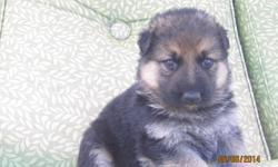 2 males 3 females (black and red) DOB:11th may 2014 The puppies will be dewormed and vaccinated. Both parents are AKC registered. Both Parents Had their hips checked. The father Till von Fidelius was imported from Germany.His German