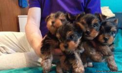AKC Champion Dollface Yorkie Puppies for saleI have 4 Teacup Yorkies that are ready for new homes. They are currently 11 weeks old. They have dew claws and tails removed, are utd on shots and deworming, vet checked, registration papers, 1 year health