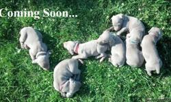 AKC Champion Weimaraner Puppies For Sale! The estimated due date is the 30th of September. Puppies come from a champion bloodline from Germany and are pure silvers. Puppies are currently being offered with Limited papers, $1000.00 (no breeding rights but