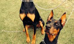 AKC championship Doberman puppies. These precious puppies were born September 2,2014. Yug/Int bloodline. Pedigrees of mother, father, and grandparents avaliable. We curently have 1 black female, and 1 red male left. These