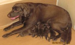 AKC choc lab puppie's born july 27 and ready to go with full AKC papers and vet health cetificate's$700. limited AKC papers $600 and no papers $500. call or email.