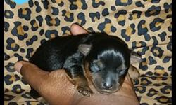 male was just born on July 18, 2014. He is AKC traditional chocolate(black/chocolate) estimated adult weight is 5 to 6lbs, he would be ready to leave on 9/22/14. Then my female puppy is Sassy she is 12 weeks old CKC registered her estimated adult