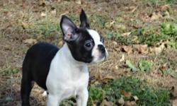 AKC & CKC Boston Terrier puppies. We are now accepting deposits on upcoming litters. Raised in our home with love and children.Our dogs and puppies are apart of our family. We have been raising quality puppies for over fifteen years.Dew claws removed, vet